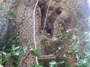 Tree Mallow